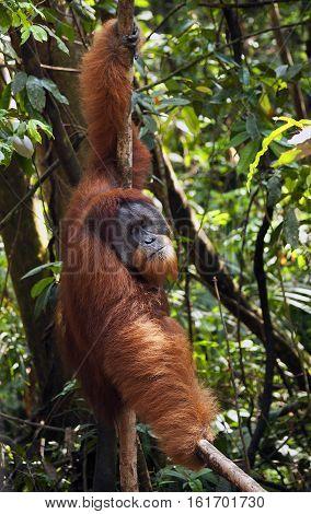 The male orangutan in the jungle Bukit Lawang Indonesia