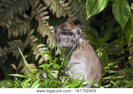 Grey marmoset in the jungle of Sumatra