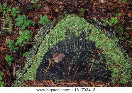 beautiful stub in the coniferous autumn wood