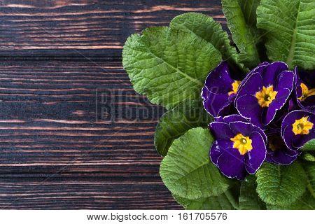 Flowers primrose, primula flowers on wood desk. Nature background