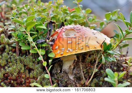 Poisonous mushroom a fly agaric grows in the northern woods with moss