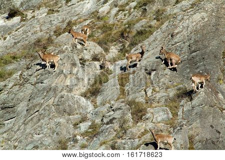 Herd of goats on Mount in russia taiga