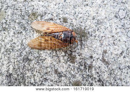 Large and creepy dead japanese Cicada on a rock