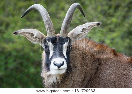 The roan antelope (Hippotragus equinus) is a savanna antelope found in West, Central, East and Southern Africa. Roan antelope are one of the largest species of antelope. Pictured here close portrait staring forward