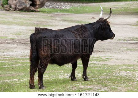 Heck cattle (Bos primigenius taurus), claimed to resemble the extinct aurochs.
