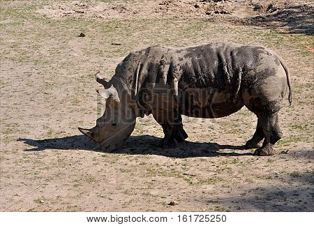 view of the dangerous African animals in nature - rhino