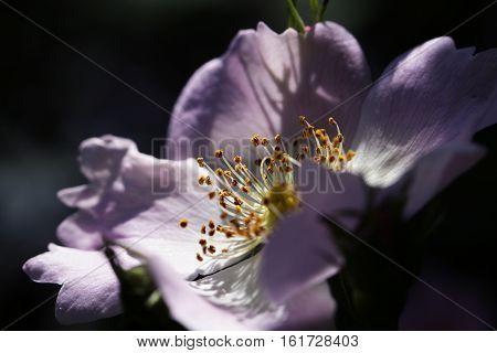 Close-up of a dog rose (wild rose) Rosa canina. Flower of dog rose (Rosa canina) - macro