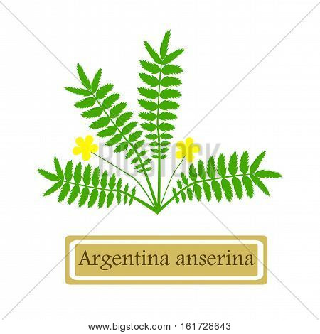 Medicinal plant Argentina anserina in flat style isolated on white background.