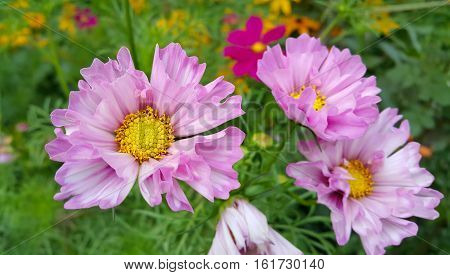 Beautiful Cosmos flowers in summer garden close-up