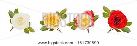 White yellow and red roses with leaves isolated on white.