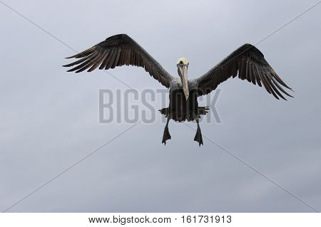 A brown pelican Pelecanus occidentalis flying in to land