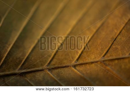 yellow green leaves close-up longitudinal venation of leaves autumn seasons macro