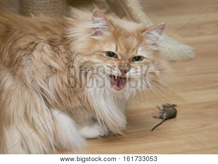 Domestic Siberian cat after catching small mouse