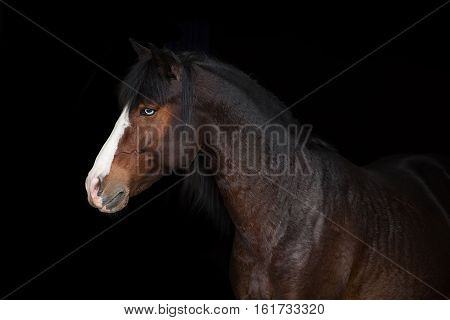 Portrait of bay horse with blue eye isolated on black background