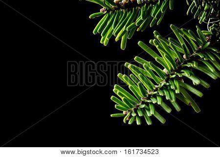 Grand Fir (abies Grandis) Branches On Black