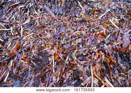 Seaweed background consisting of mainly kelp and wrack.