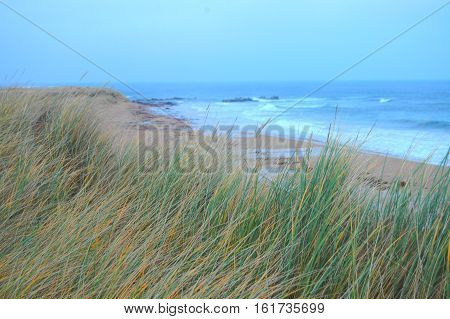 Marram grass growing on sand dunes beside beach.