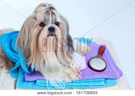 Shih tzu dog after washing. With towels and comb. On white background.
