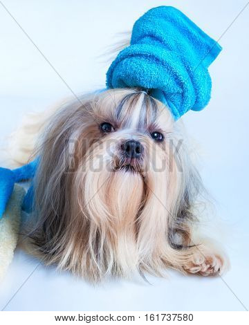 Shih tzu dog hair style with towel in grooming salon concept. On white background.