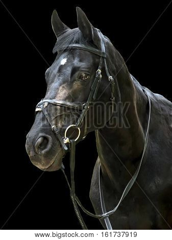 Head of the black horse. The sight of a stallion. Portrait of a sports horse in bridle. Beautiful noble animal the horse.