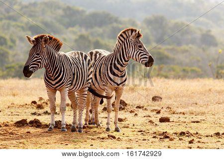Burchell's Zebras Standing Guard