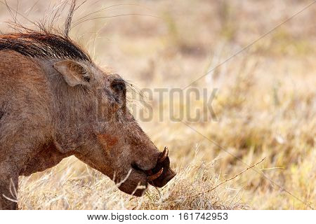 Hairy Common Warthog Ready To Eat Grass