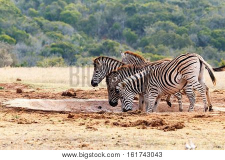Burchell's Zebra Lifting Their Heads Up In A Sequence