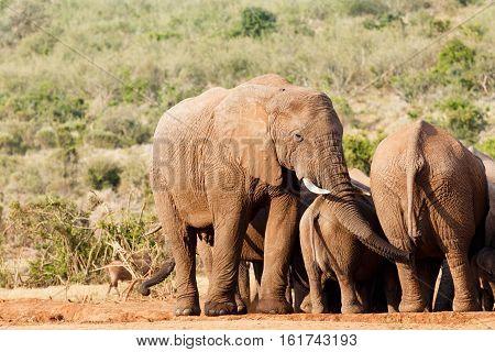 Bush Elephant Grabbing Towards A Leg