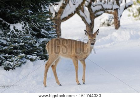 Whitetail deer (odocoilus virginianus) - a fawn in the depths of winter