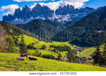 Lovely sunny day in Naturpark Puez-Odle. Val de Funes valley, Dolomites. Farm cows resting in the grass
