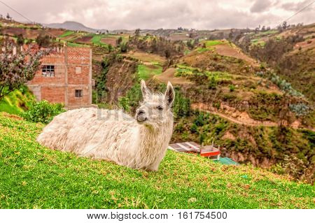 Portrait Of A White Llama Resting On Grass Andes Mountains