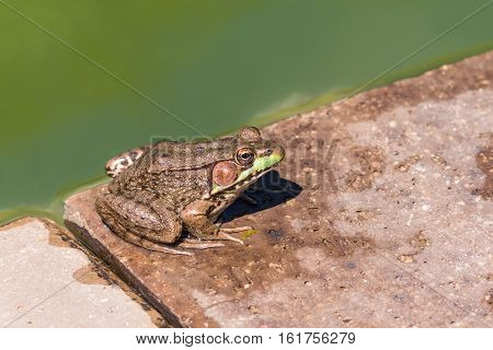 Large green toad frog sitting by dirty pond