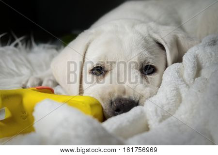 young cute labrador dog puppy is tired in his bed before sleeping