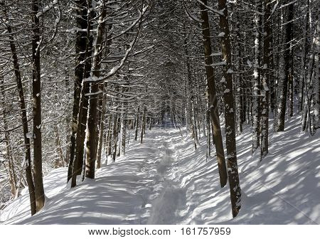 Winter forest in cold bright sunny day with walking path