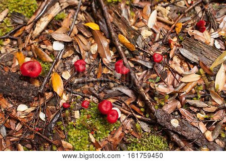Small Red Fungi