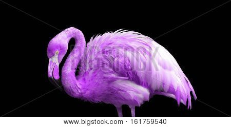 portrait of a purple flamingo on black background