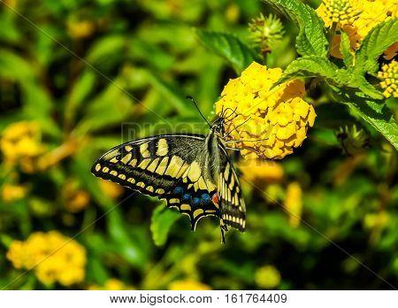 Monarch Butterfly Danaus plexippus on Yellow Garden Flowers During Autumn Migration