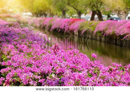 bougainvillea wall at side of a canal