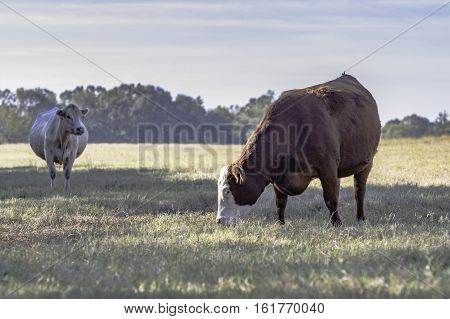 Two commercial brood cows in a dormant pasture
