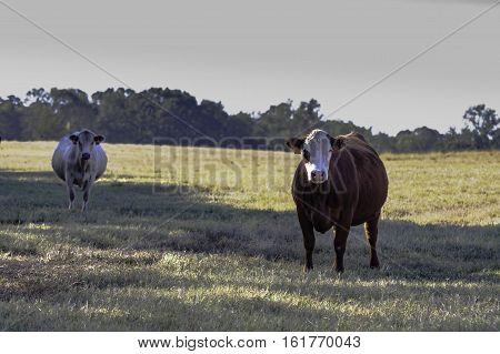 Two crossbred commercial cows in a dormant bermuda grass pasture in November