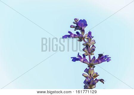 Purple White Salvia Flowers Close Up