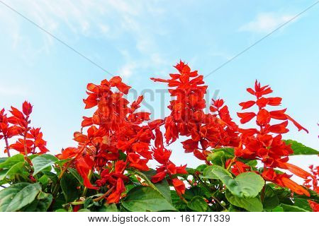 Red Salvia Flowers With Sky
