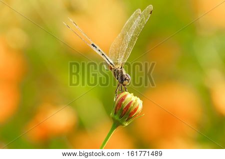 Yellow Black Pattern Dragon Fly Close Up