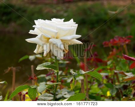 White Rose On Tree Branch