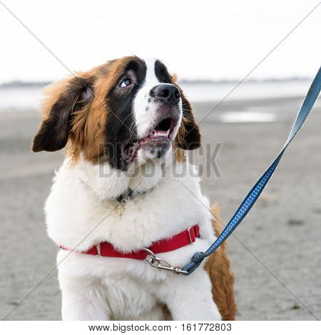 Close up portrait of Saint Bernard puppy on the beach, looking up in adoration