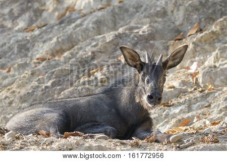 Image of chamois on the rocks. Wild Animals.