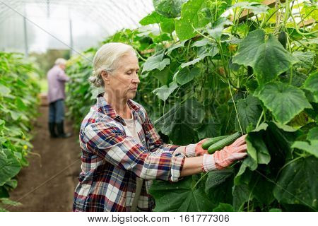 farming, gardening, agriculture, old age and people concept - senior woman harvesting crop of cucumbers at greenhouse on farm