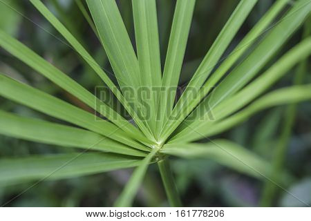 Close up of papyrus tree, leaf of plant.