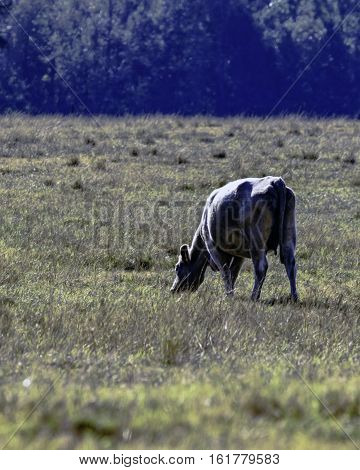 Lone crossbred cow grazing in a dormant pasture - vertical format