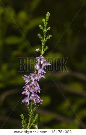 Wild Purple Common Heather Calluna vulgaris blossom on dark bokeh background close-up selective focus shallow DOF